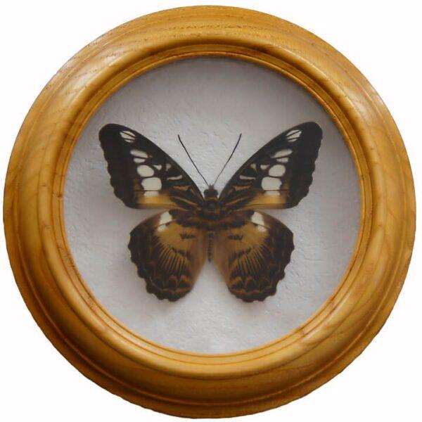 parthenos sylvia бабочка в раме