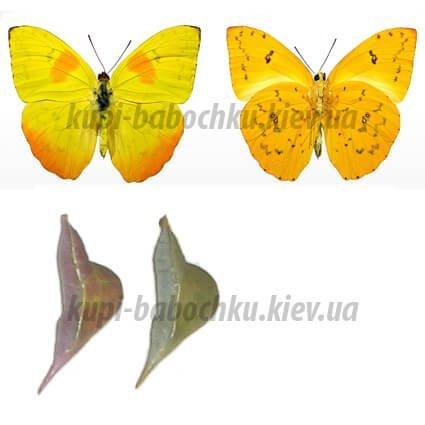 Phoebis Philea куколка бабочки