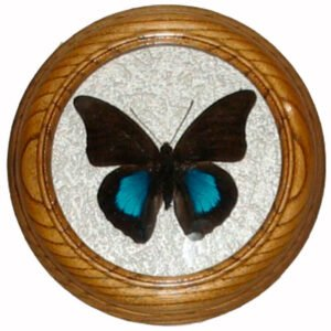 prepona chromus засушенная бабочка под стеклом