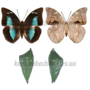 prepona demophon куколки бабочек