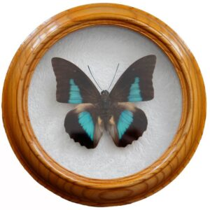 prepona demophoon засушенная бабочка в раме