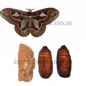 Samia cynthia куколка бабочки кокон