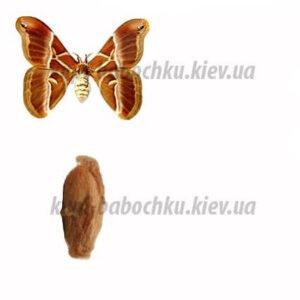 rothschildia triloba куколки бабочек кокон