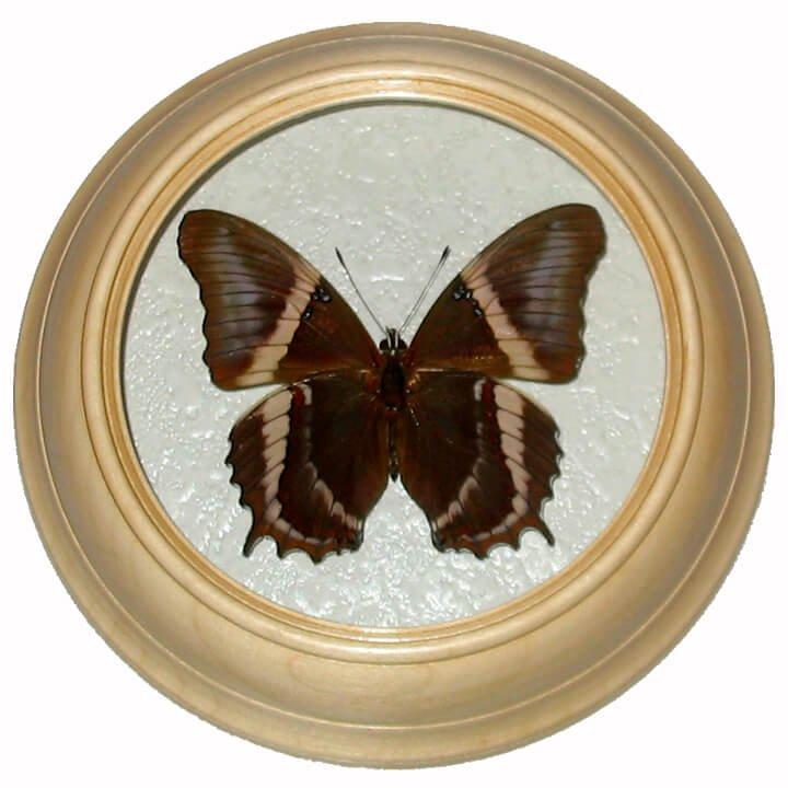 siproeta epaphus низ бабочка в багете