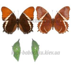 Siproeta Epaphus куколки бабочек