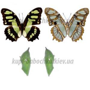siproeta stelenes куколки бабочки