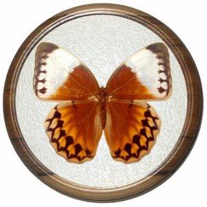 stichophthalma fruhstorferi засушенная бабочка в багете