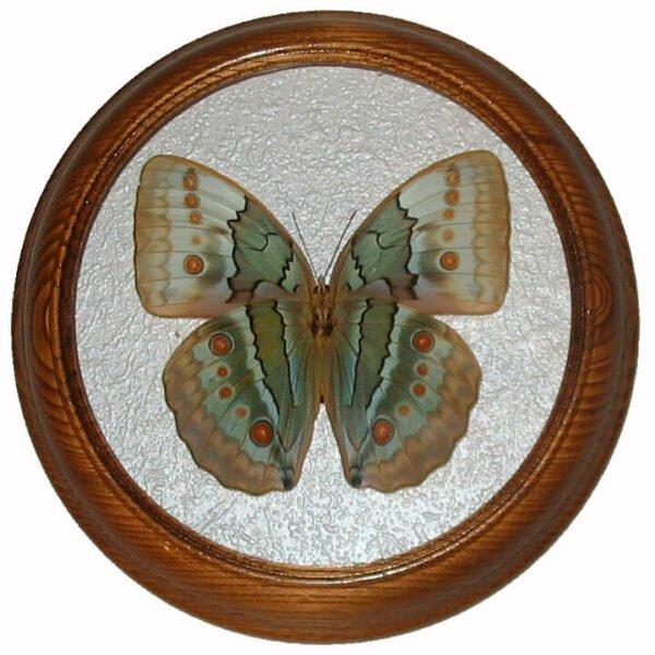 stichophthalma howqua низ бабочка в рамке