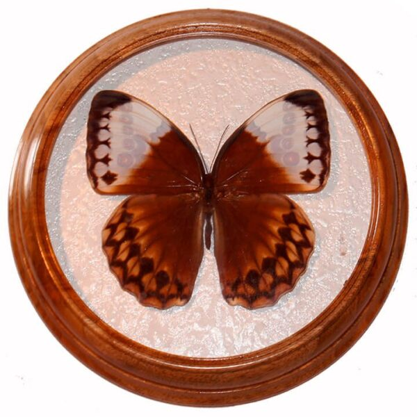 stichophthalma louisa сувенир засушенная бабочка в рамке