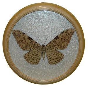 thysania agrippina засушенная бабочка в рамке