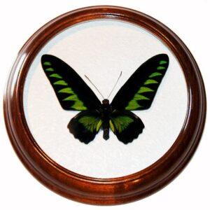 trogonoptera brookiana засушенная бабочка в рамке