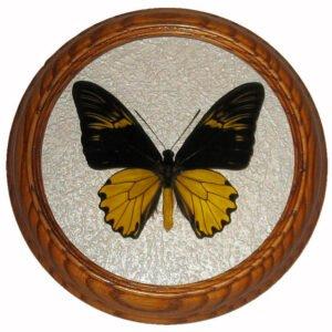 troides amphrysus засушенная бабочка под стеклом