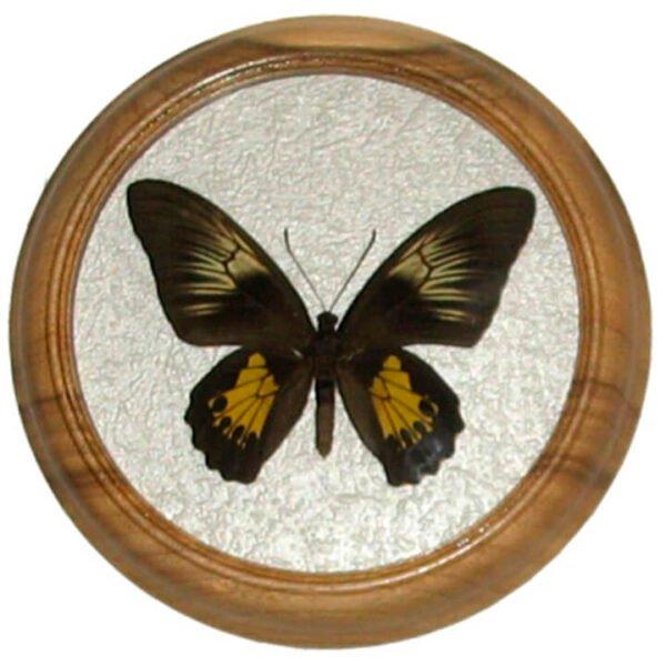 troides amphrysus F сувенир засушенная бабочка в раме