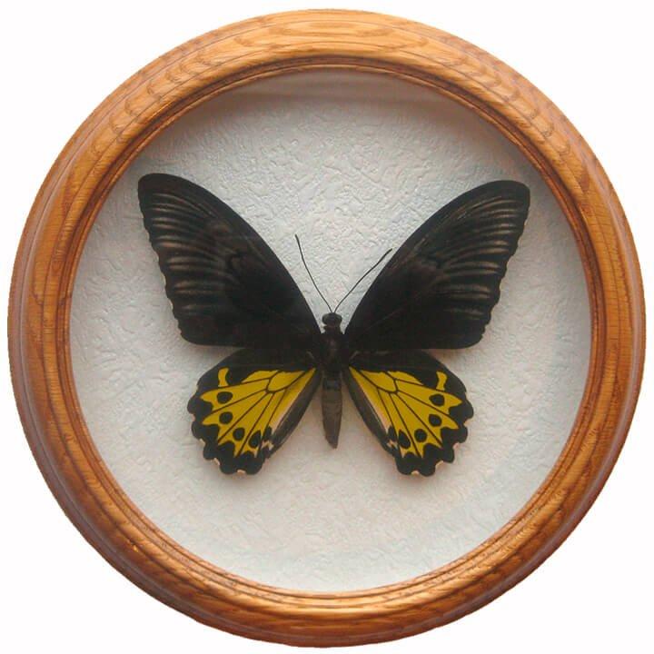 troides helena бабочка в деревянной раме