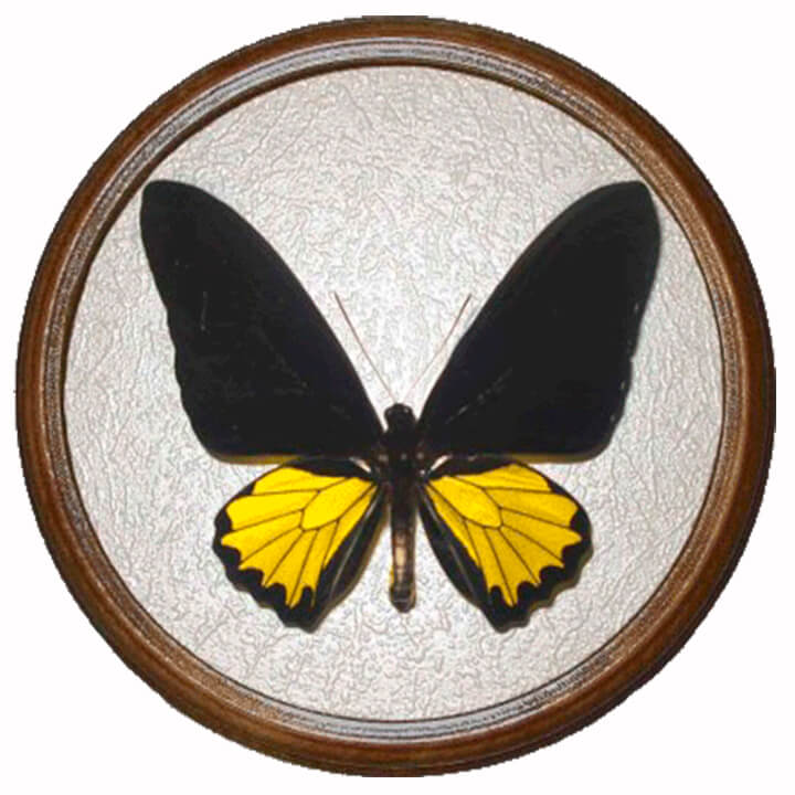 troides hephaestus засушенная бабочка в раме