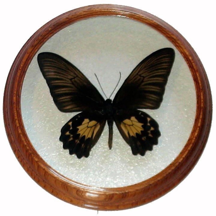 troides oblongomaculatus F засушенная бабочка в рамке