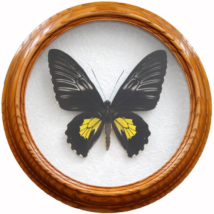 troides rhadamantus F бабочки в рамке