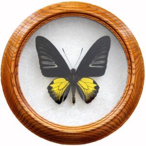 troides rhadamantus m  бабочка в раме