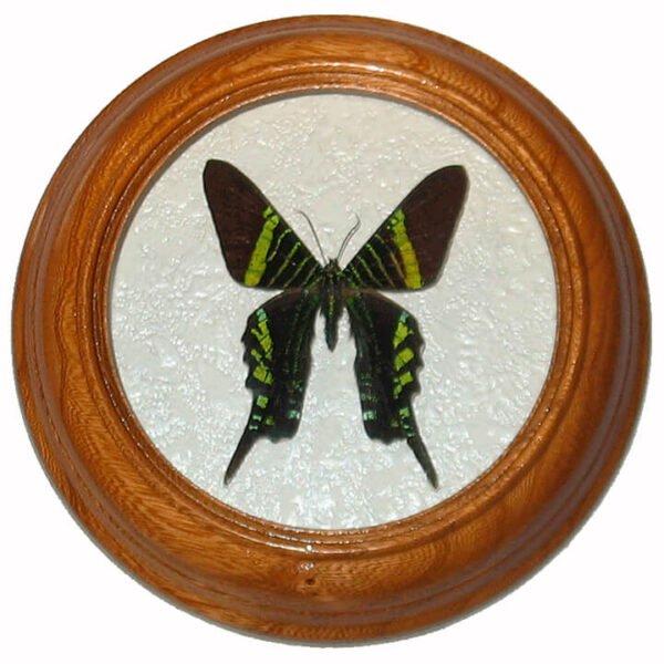 urania fulgens засушенная под стеклом бабочка