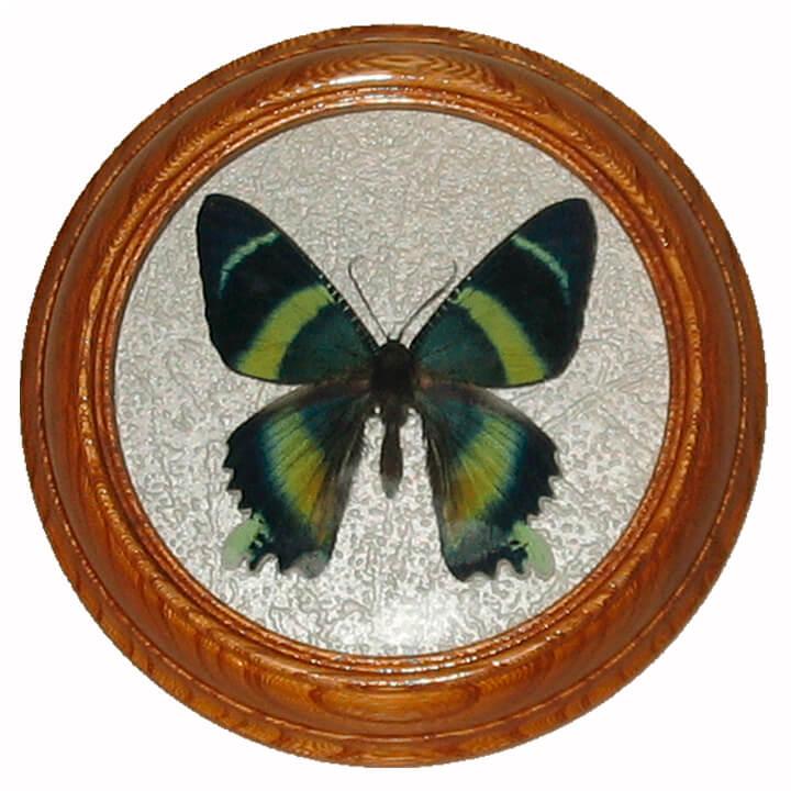 Urania Metaurus бабочка в рамке