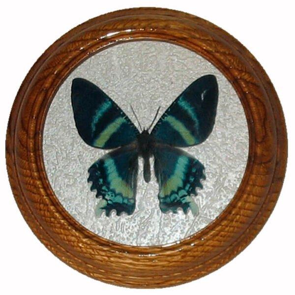 бабочка в рамке засушенная