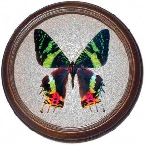 urania ripheus бабочка в рамке