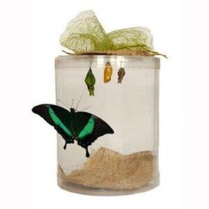 бабочкарий с 3 куколками и 1 бабочкой