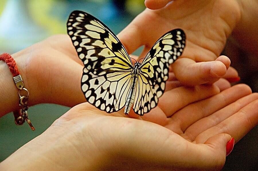купить бабочку